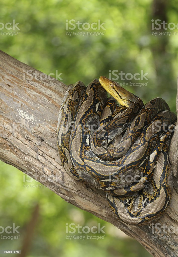 Burmese Python Danger snake royalty-free stock photo