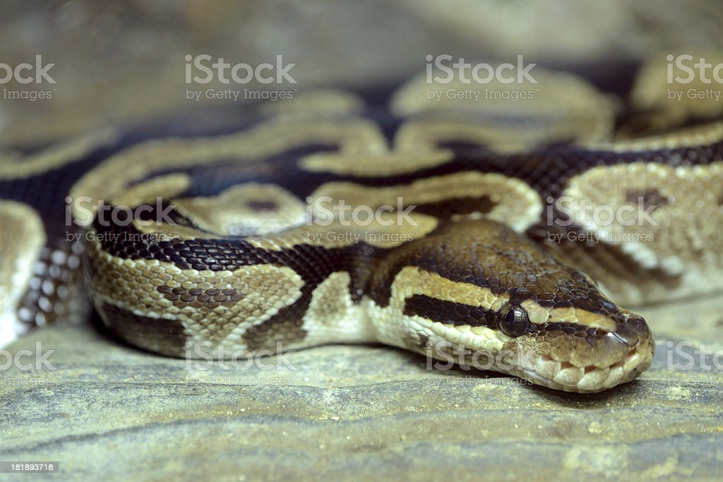 Burmese Python Danger snake royalty-free stock photo