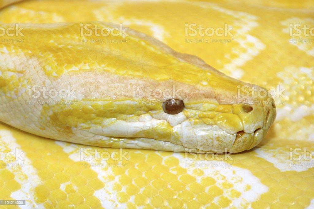 burmese python ( molorus bivittatus ) stock photo