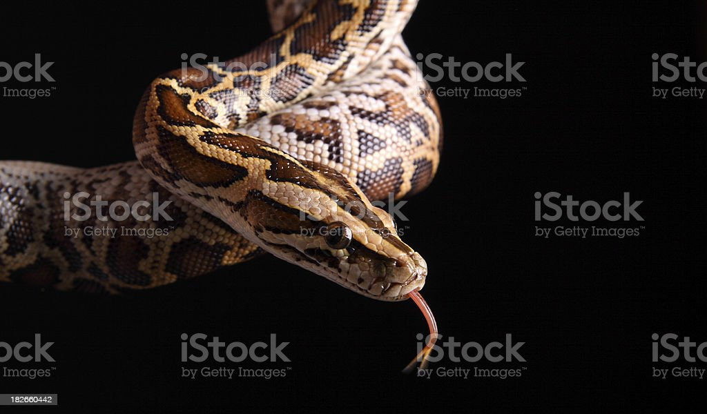 Burmese Python stock photo