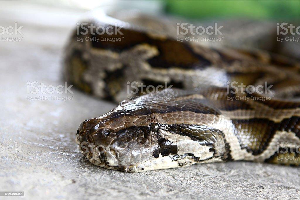 Burmese Python royalty-free stock photo