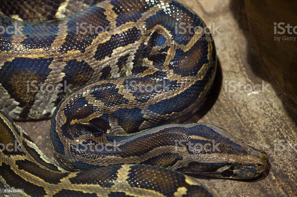 Burmese python (Python bivittatus). stock photo