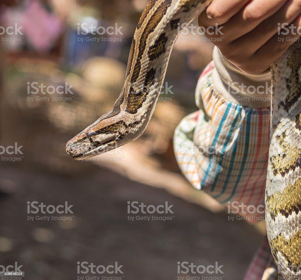 Burmese python,python molurus, python bivittatus. stock photo