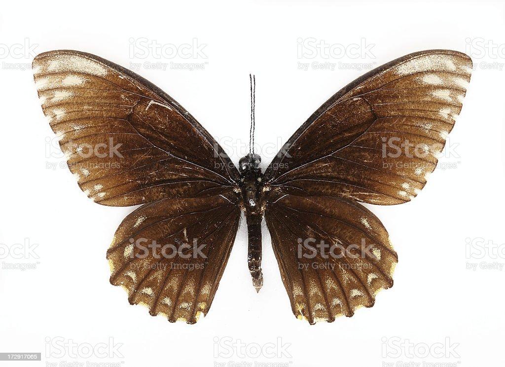 burmese raven butterfly stock photo