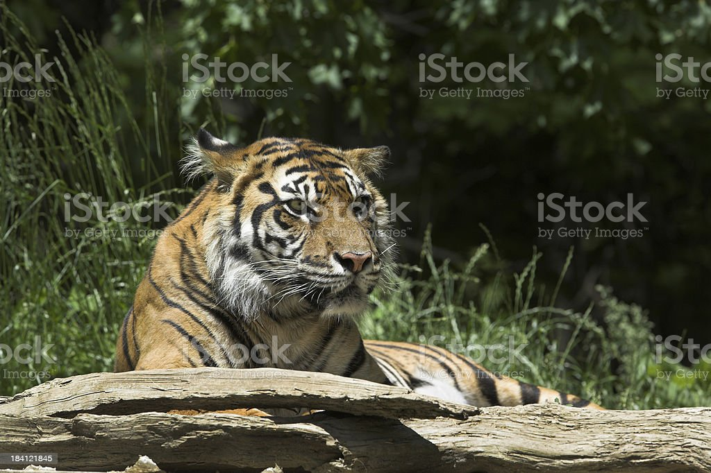 Burmese Tiger royalty-free stock photo