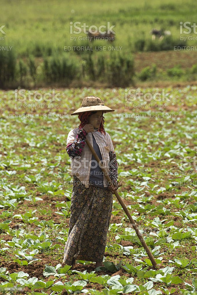 Burmese woman standing in a field of cabbage stock photo