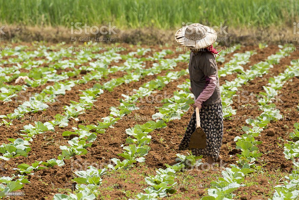 Burmese woman weeding in a field of cabbage stock photo