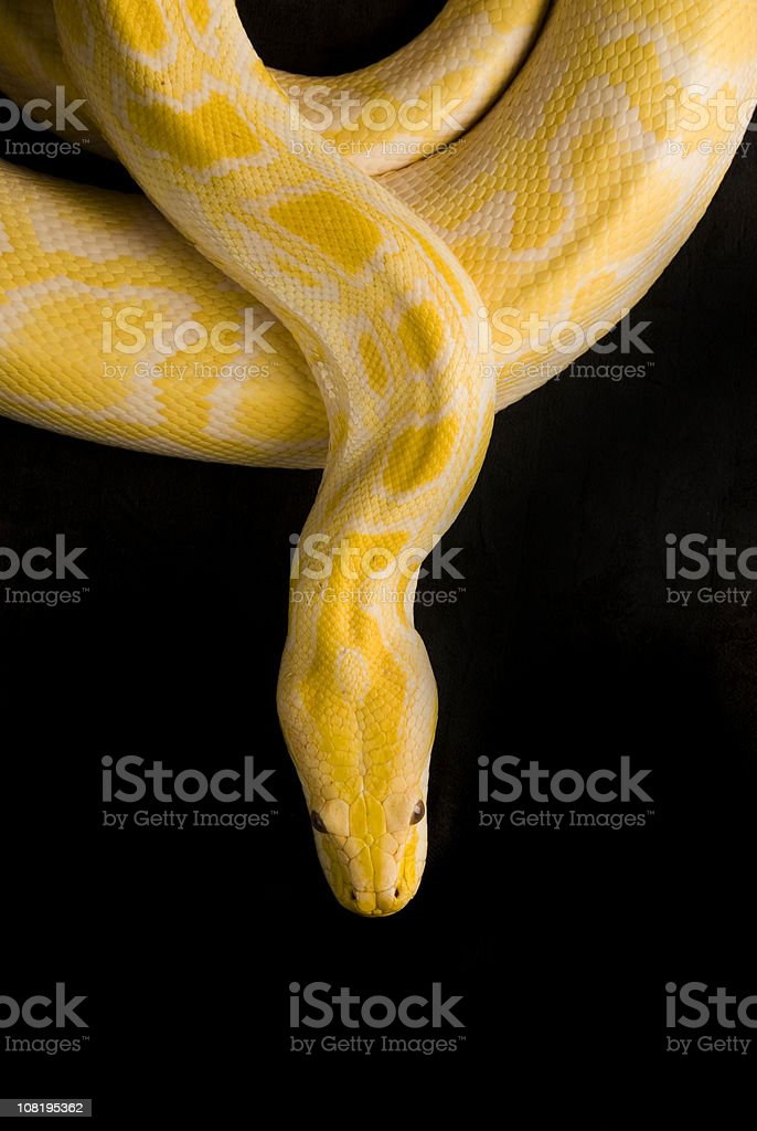 Burmese Yellow Python, Isolated on Black stock photo