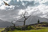 Burmis Tree at Crowsnest Pass and Swainson's Hawk