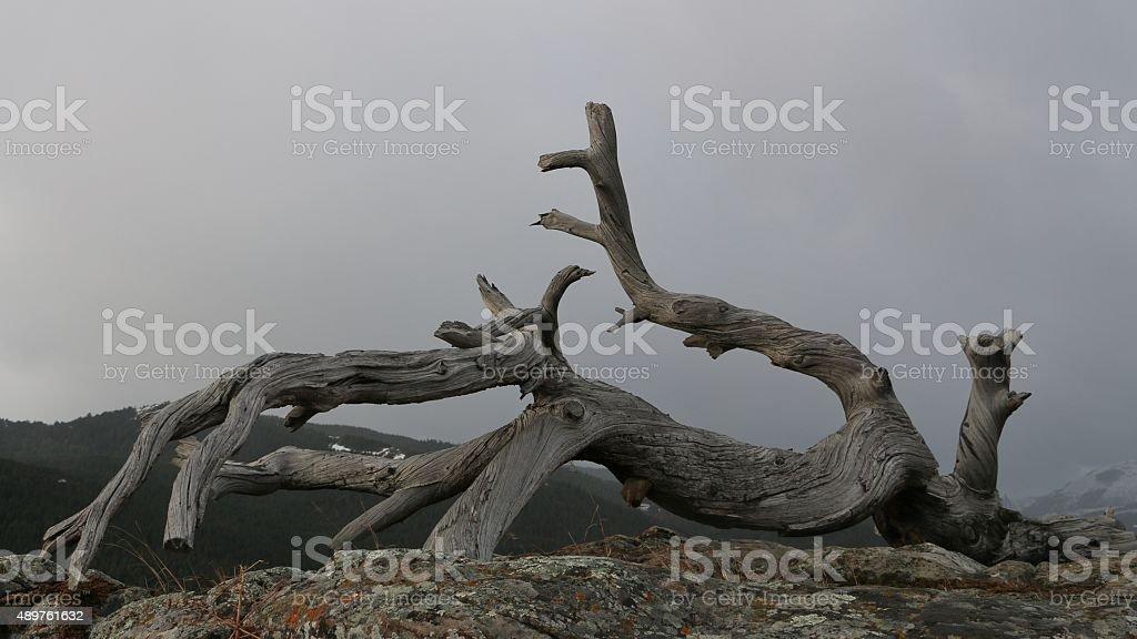 Burmis Tree stock photo