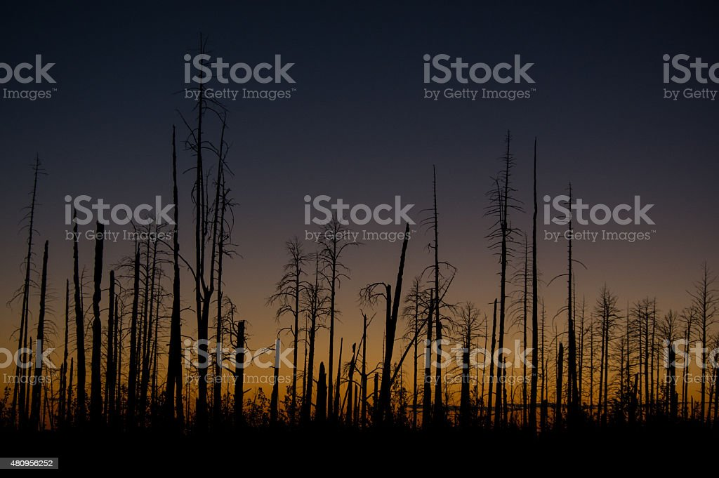 Burned Forest at sunset royalty-free stock photo