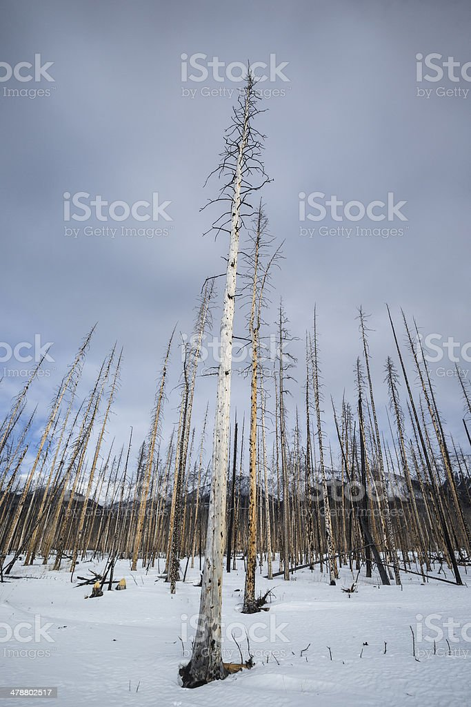 Burned Forest in Winter royalty-free stock photo