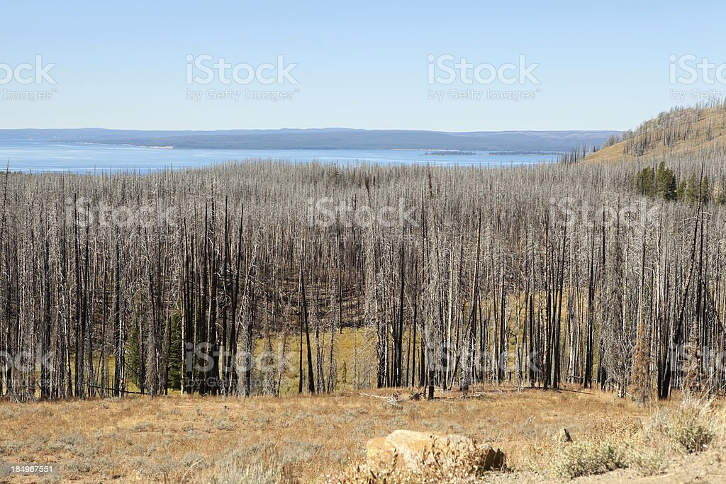 Burned Forest in Yellowstone Nat'l Park royalty-free stock photo