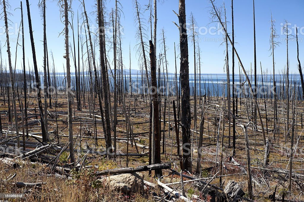 Burned Forest in Yellowstone Nat'l Park stock photo