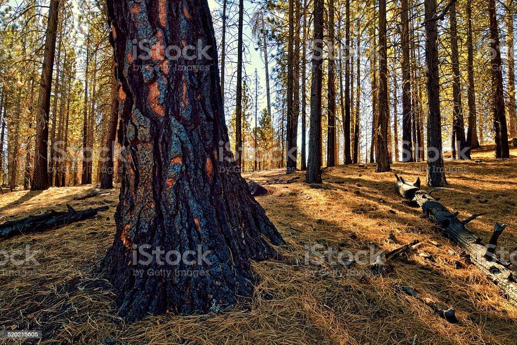 Burned Trees, Lassen Volcanic National Park stock photo