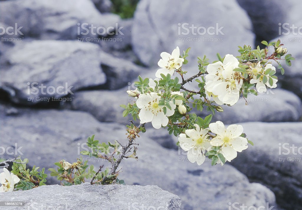 Burnet Rose (Rosa pimpinellifolia) royalty-free stock photo
