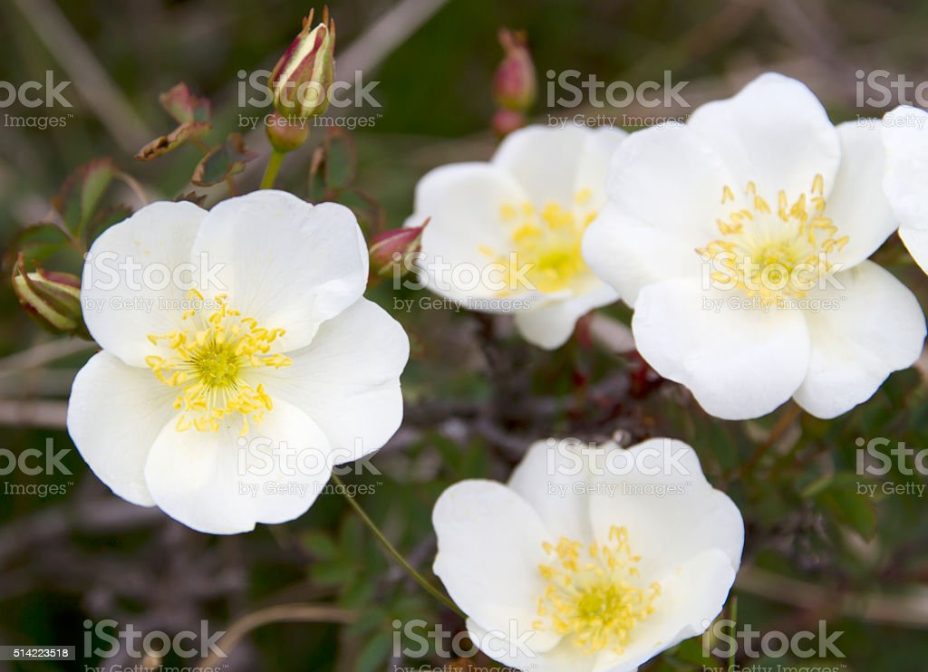 Burnet Rose (Rosa pimpinellifolia) stock photo