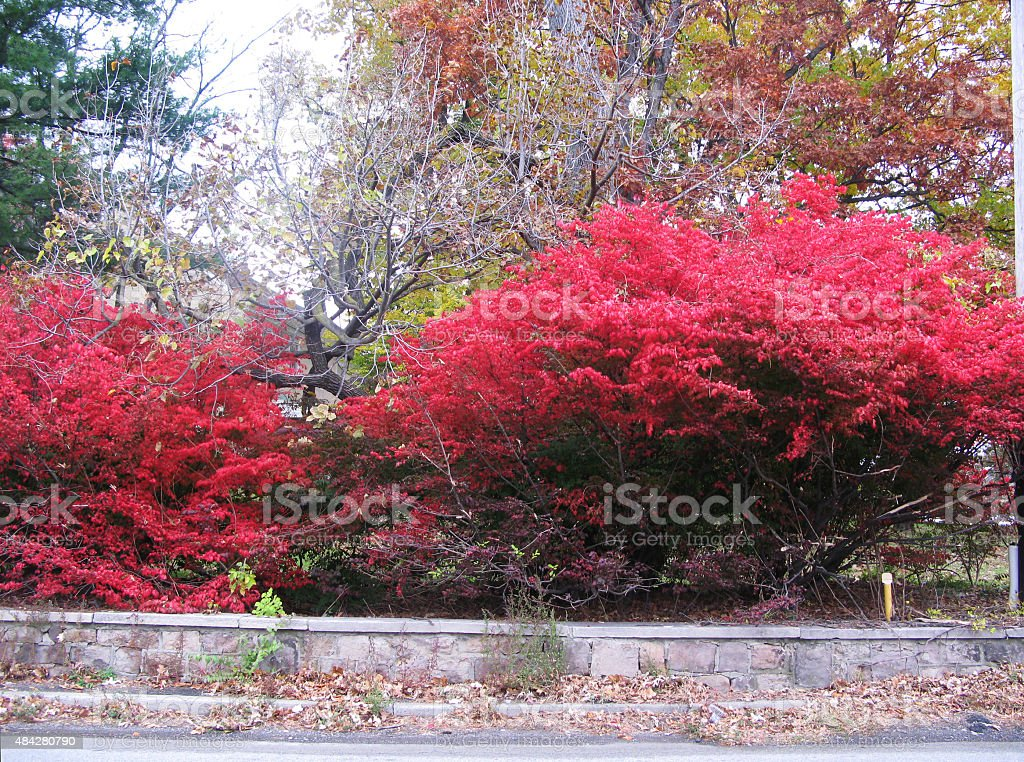 Burning Bush on the street stock photo