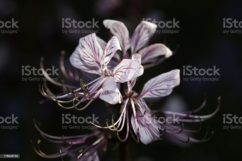 Burning Bush (Dictamnus albus) stock photo