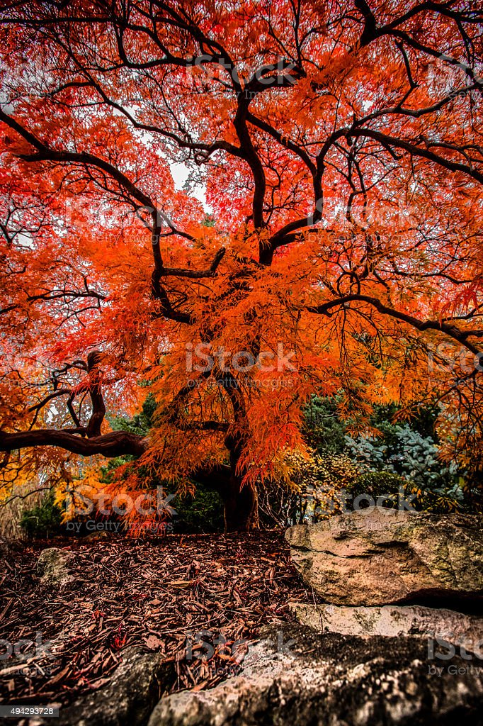 Burning Bush stock photo