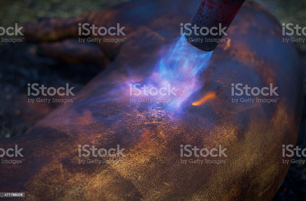 Burning domestic pig. Hair removal of the pig. stock photo