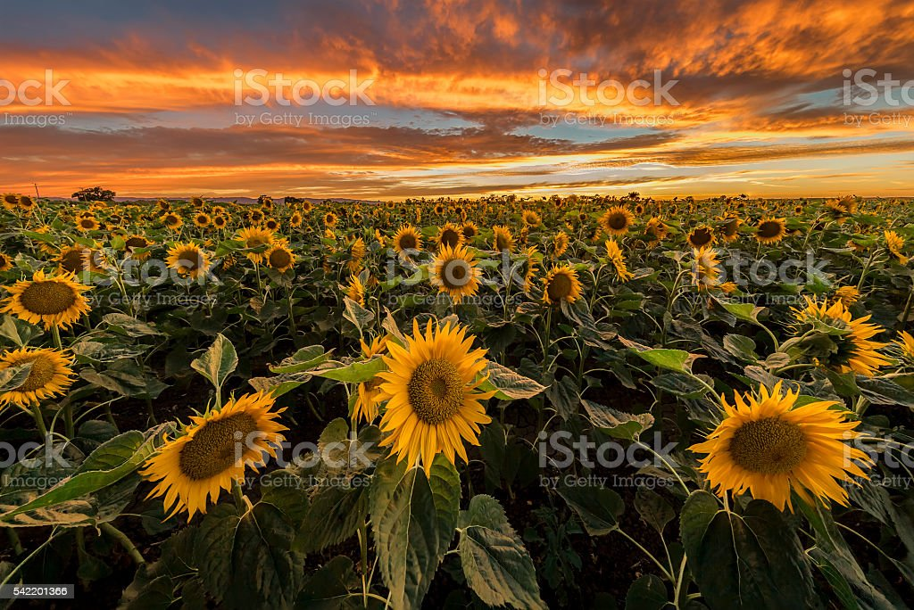 Burning sunset at sunflowers farm stock photo