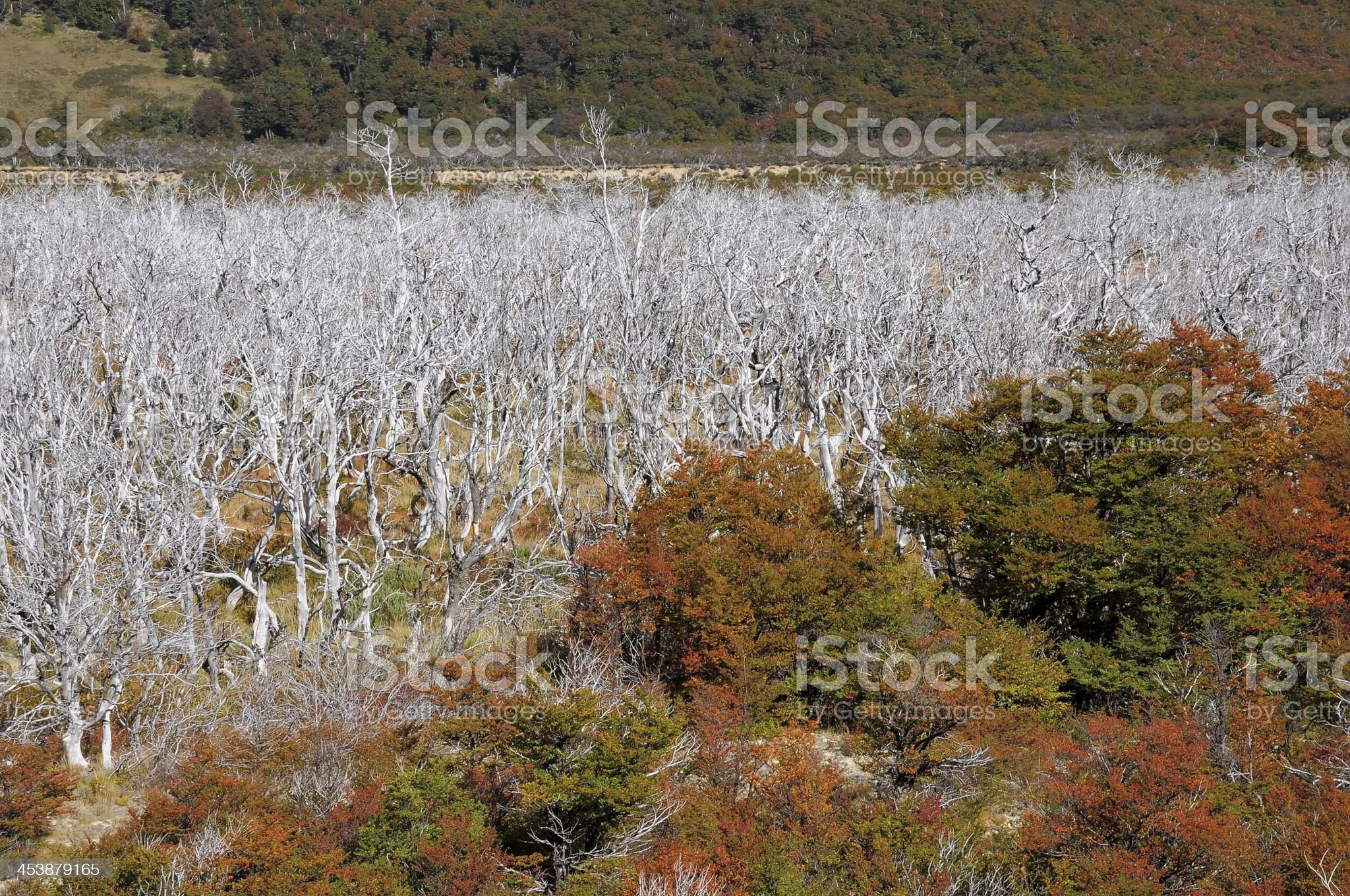 Burnt forest. royalty-free stock photo