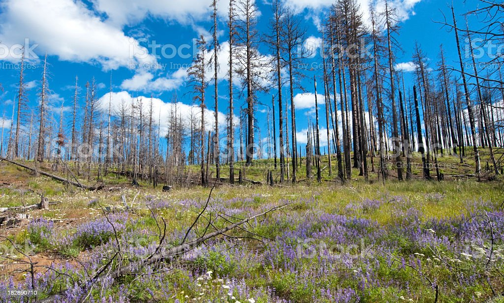 Burnt Forest Renewal - Natural stock photo