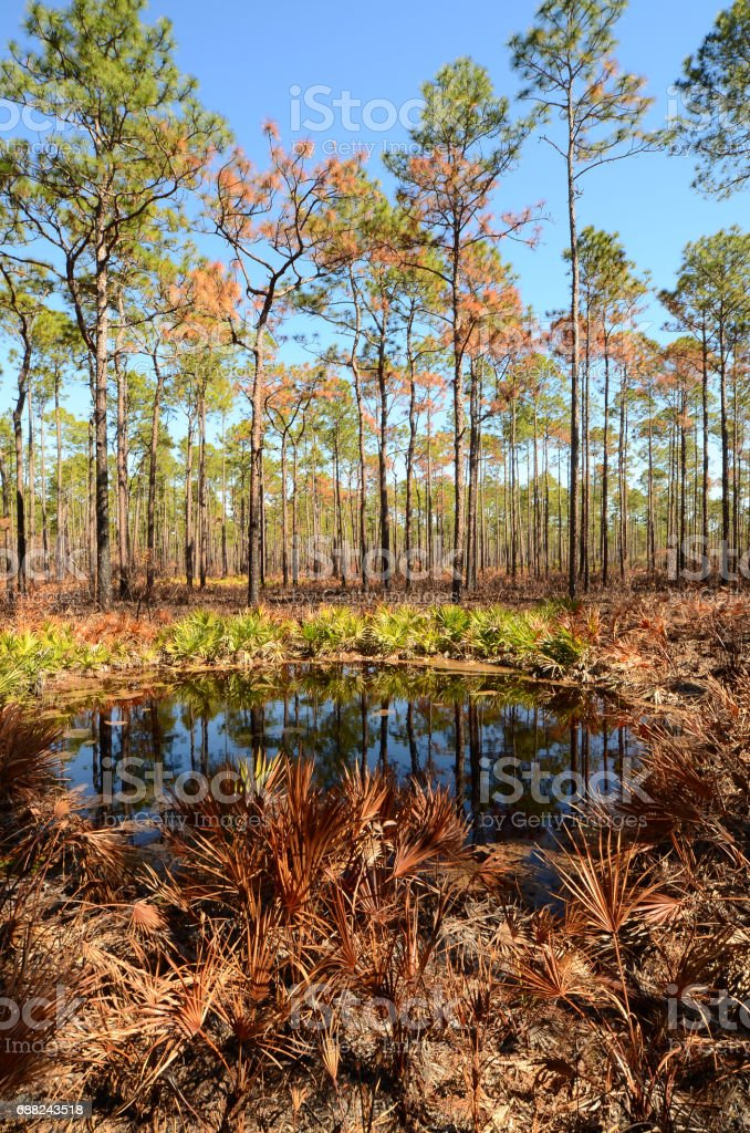 Burnt palmettos by circular pond pine forest understory stock photo