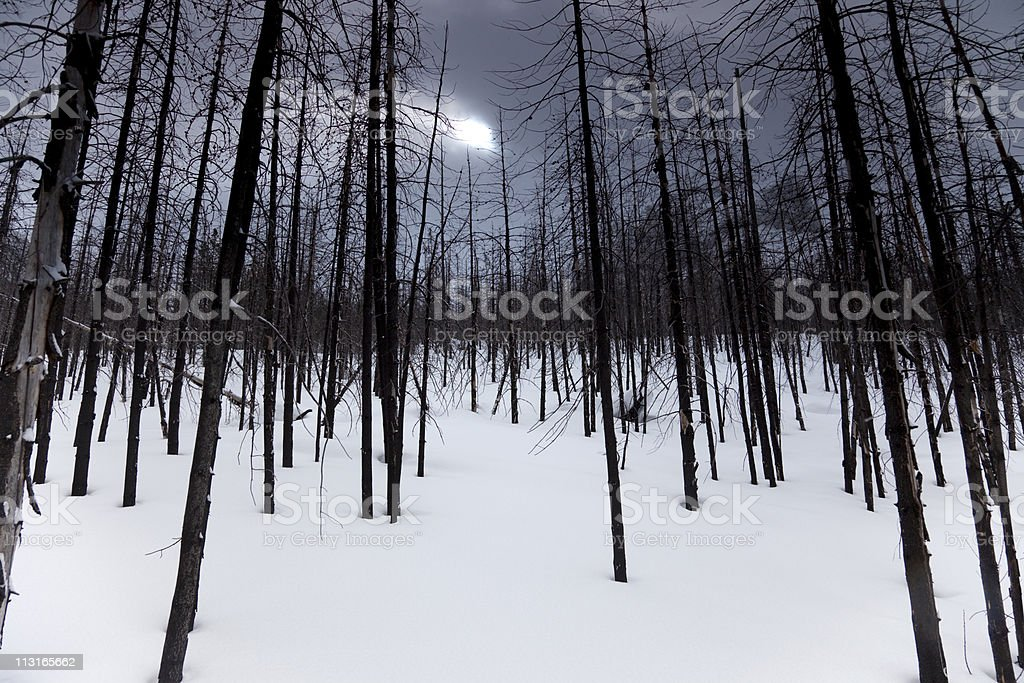 Burnt Pine Forest stock photo