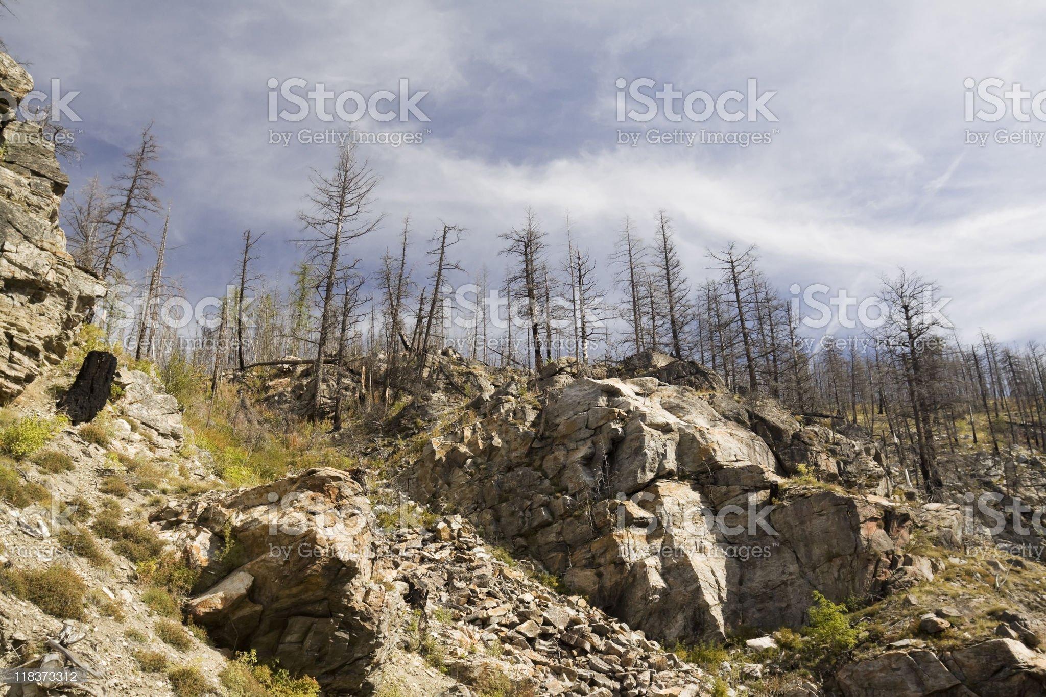 burnt pine trees royalty-free stock photo