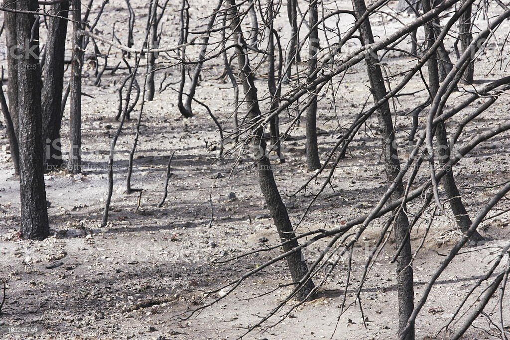 Burnt Tree Ash Forest Fire Holocaust royalty-free stock photo