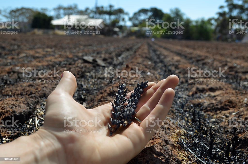 Burnt wheat crop from bushfire royalty-free stock photo