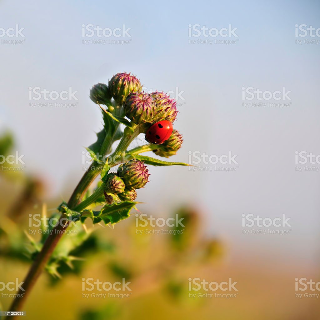 Burr and Ladybird royalty-free stock photo
