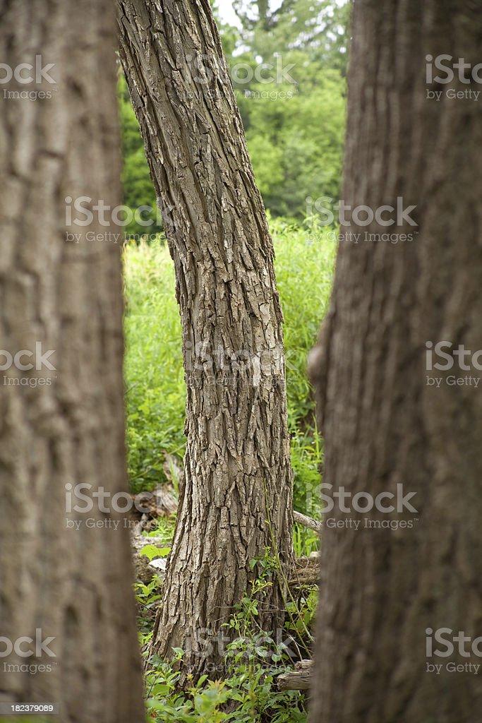Burr Oak stock photo