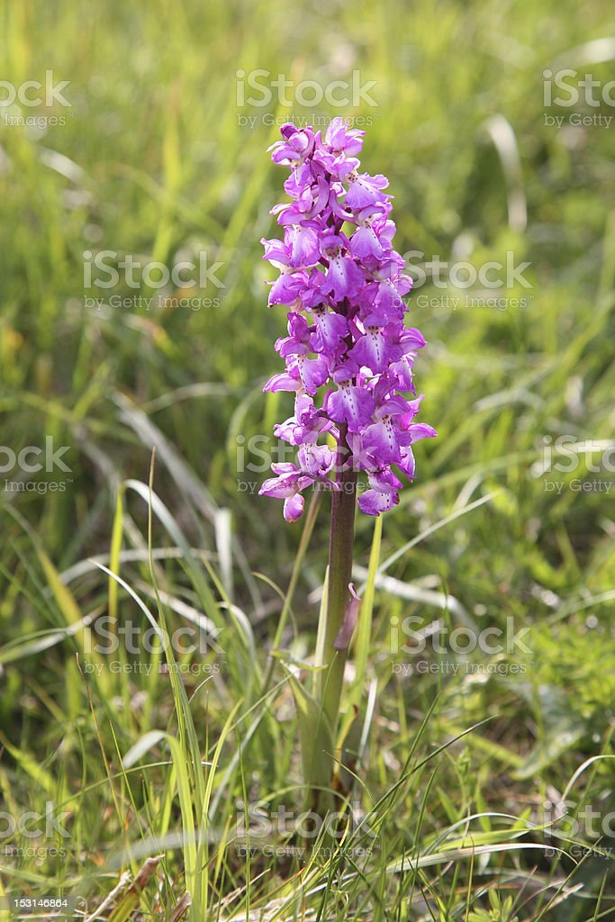 Burren Orchid royalty-free stock photo