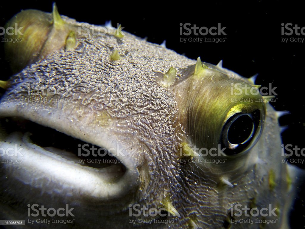 Burrfish or porcupinefish head stock photo