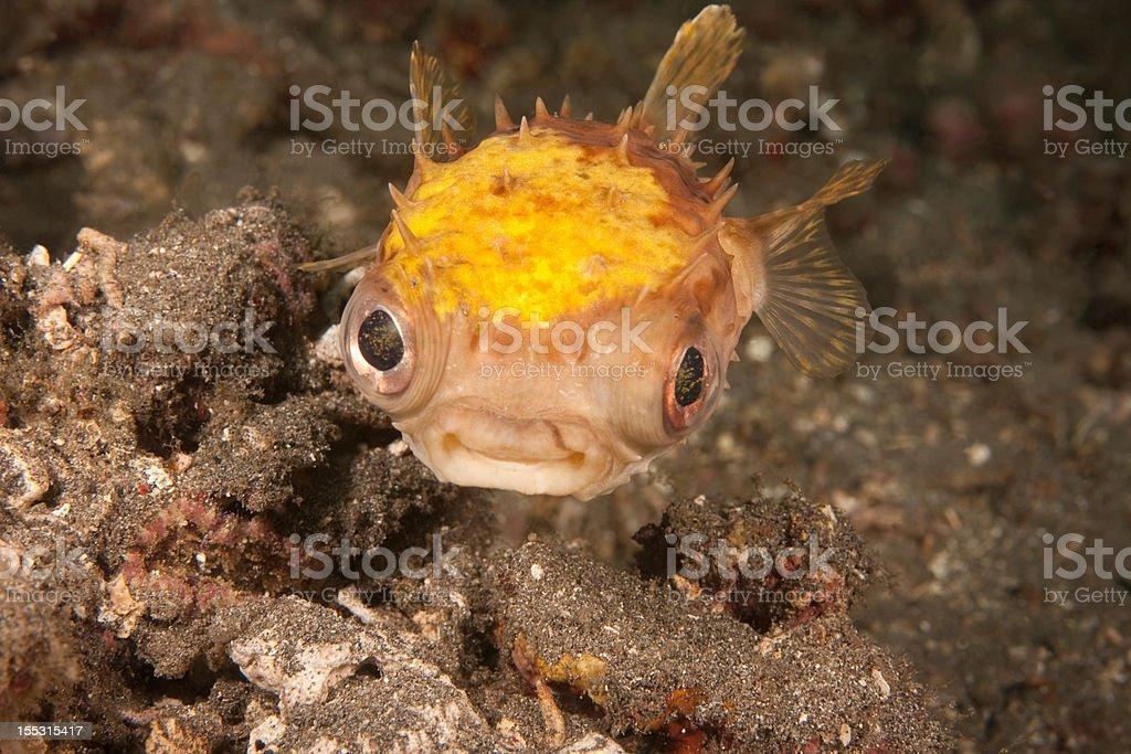 Burrfish stock photo