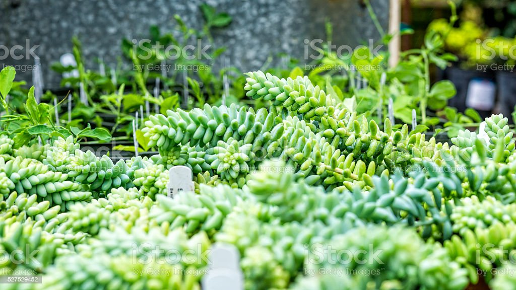 Burro's Tail-Succulent stock photo
