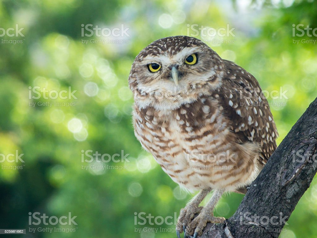 Burrowing Owl Looking at Camera stock photo