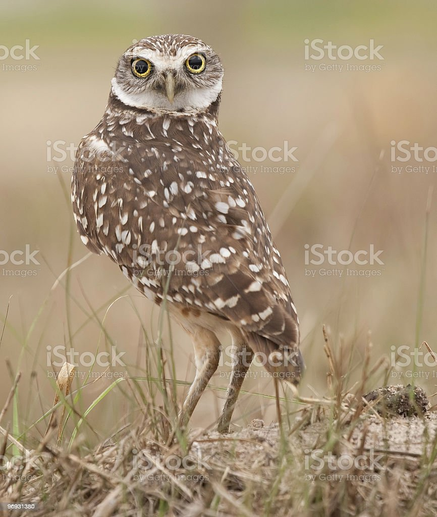 Burrowing Owl looking over its shoulder stock photo