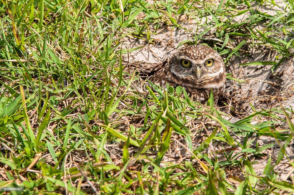 Burrowing owl peeking out stock photo