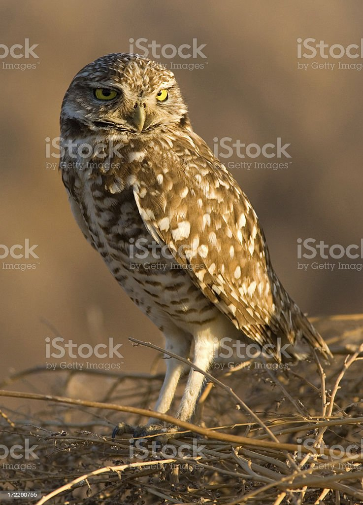 Burrowing Owl royalty-free stock photo
