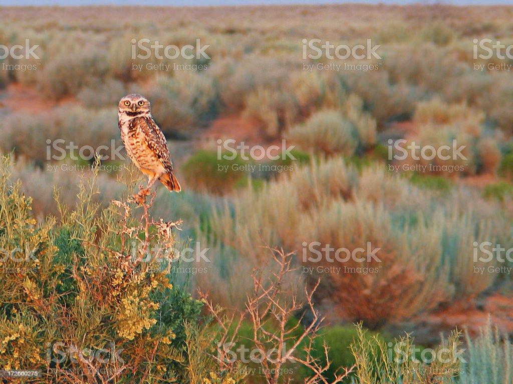 Burrowing Owl royalty-free stock photo
