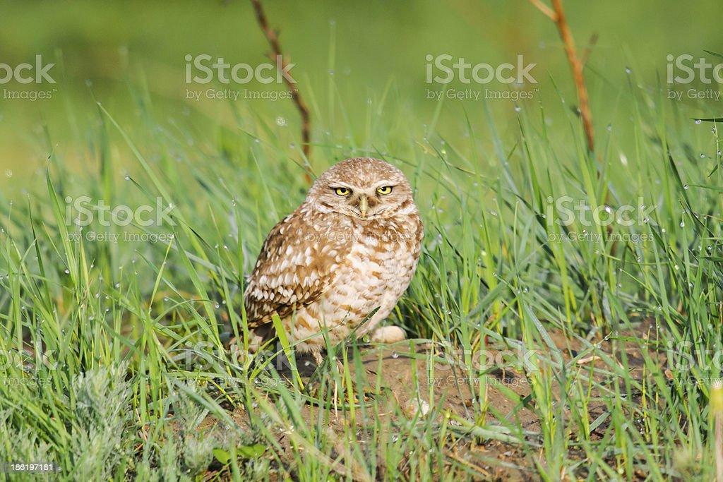 Burrowing Owl (Athene cunicularia) royalty-free stock photo