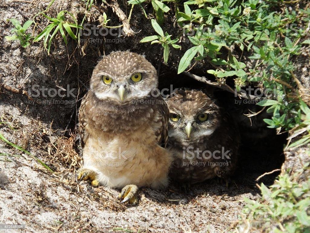 Burrowing Owl  (Athene cunicularia) stock photo