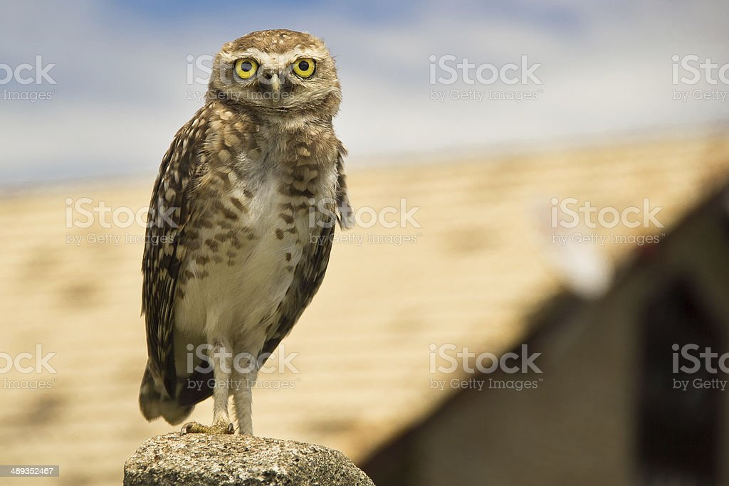 Burrowing owl - Speotyto cunicularia stock photo