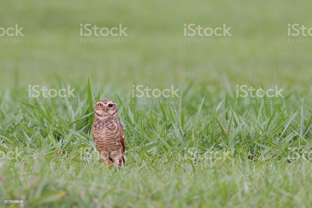 Burrowing owl (Athene cunicularia) standing in grass, Brasilia, Brazil stock photo