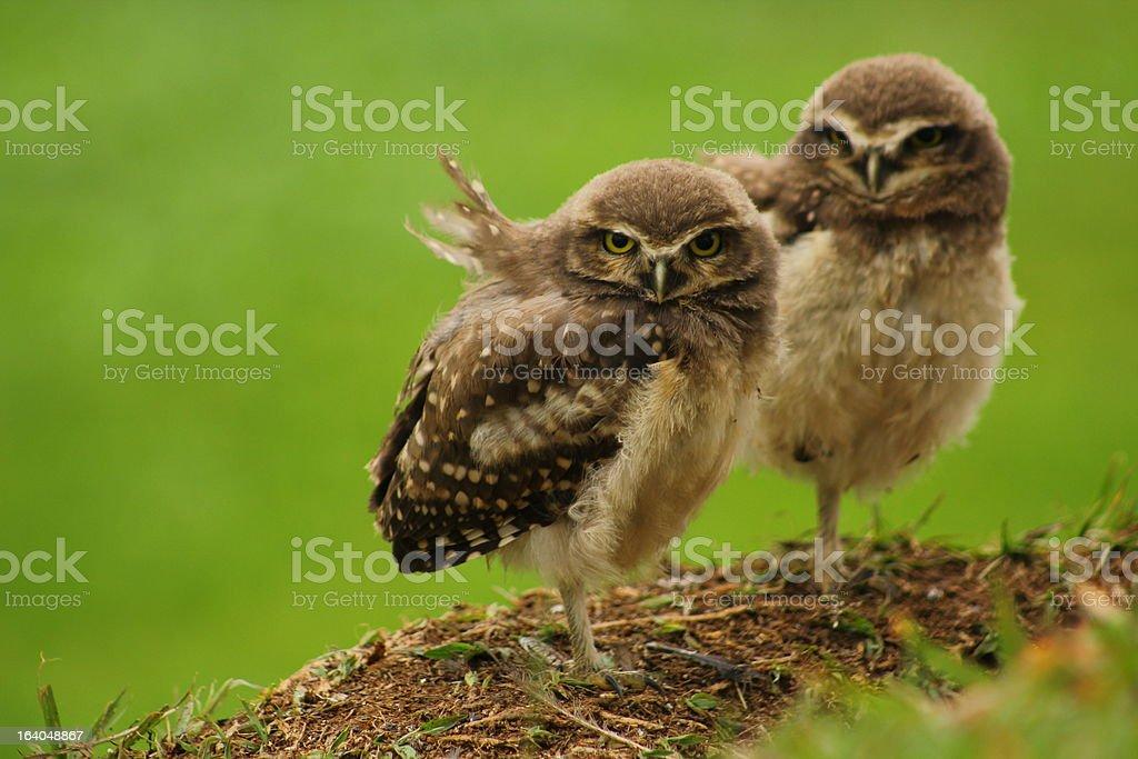 Burrowing Owls stock photo