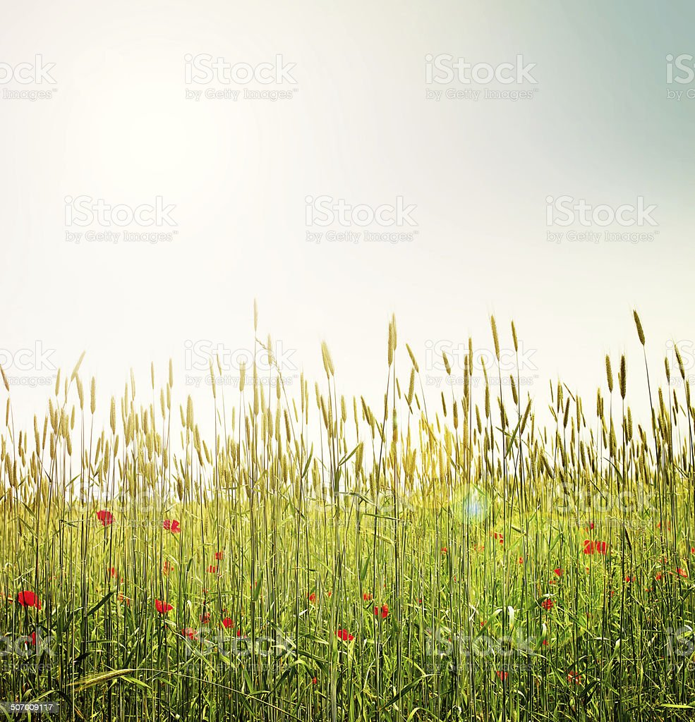Bursts of brilliant red poppies! stock photo
